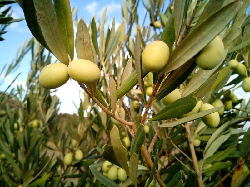 Как выбрать оливковое масло. Изображение номер 2