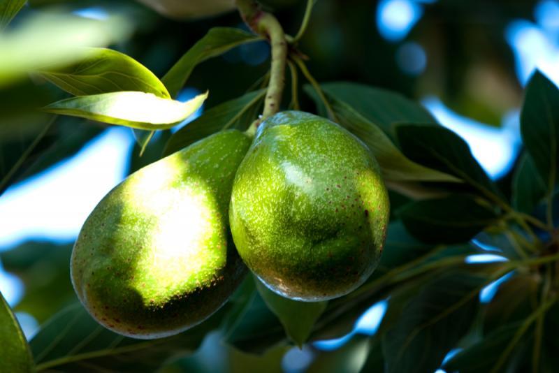 Как выбрать вкусное спелое авокадо и что из него приготовить. Изображение номер 4